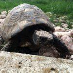 tartaruga di terra in giardino